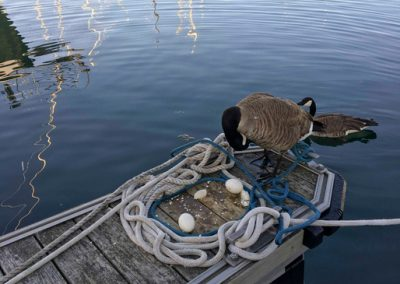 Canadian-Goose-Empty-Egg